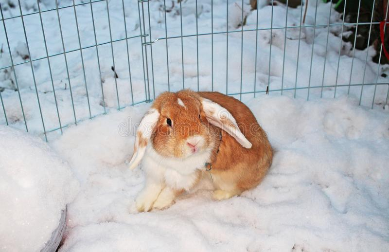 Rabbit bunny winter snow dwarf lop outdoor cold weather rabbits playing in garden animal pet animals pets cute. Rabbit bunny winter snow dwarf lop outdoor cold royalty free stock photo