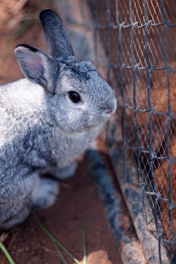 Rabbit royalty free stock photo