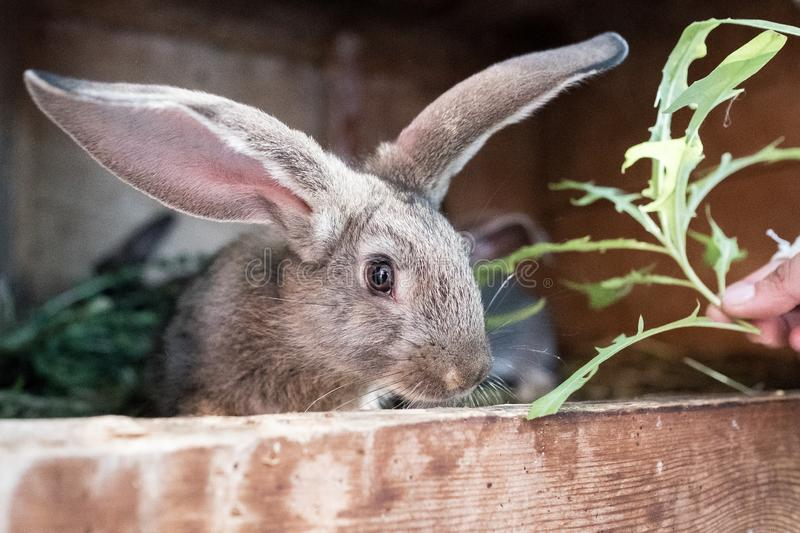 The rabbit in the cage is eating grass royalty free stock photography