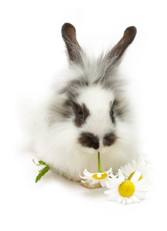 Download Rabbit with camomile stock image. Image of funny, domestic - 5587077