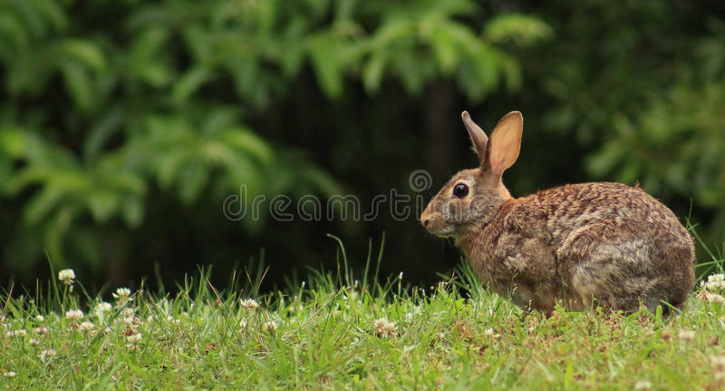 Rabbit in the clover on R. Young rabbit in a field of clover at the park royalty free stock photos