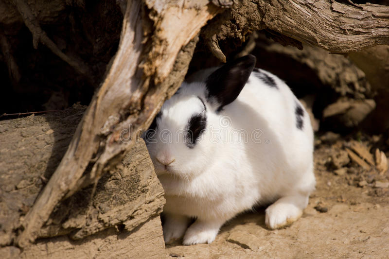 Rabbit coming out of hiding. Cute rabbit coming out of hiding royalty free stock photo