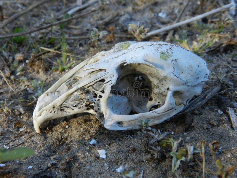 Rabbit& x27; crânio de s foto de stock royalty free