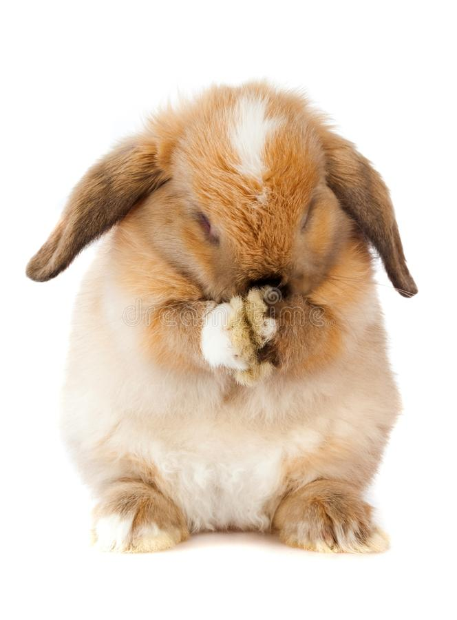Lop Eared Rabbit hiding its face. Rabbit cute pet bunny lop eared rabbit baby animal fluffy stock photo