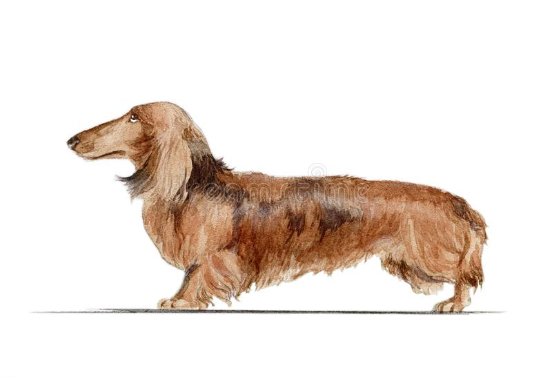 A rabbit dachshund painted in watercolor in profile royalty free stock images