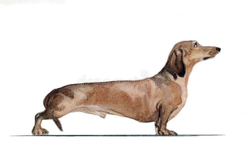 A rabbit dachshund painted in watercolor in profileBrown dachshund painted in watercolor in profile stock image