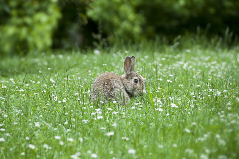 Download A Rabbit Among The Daisies Royalty Free Stock Images - Image: 25736439