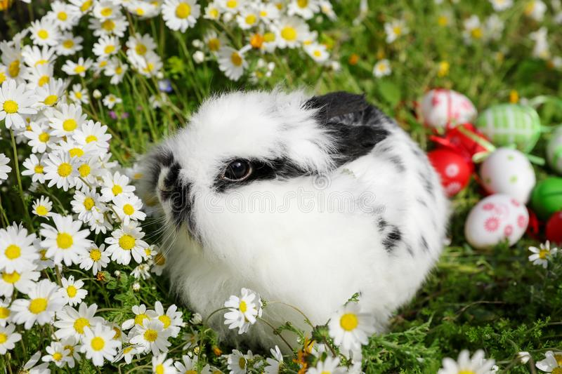 Rabbit in daisies next to Easter eggs. Easter eggs. stock photos