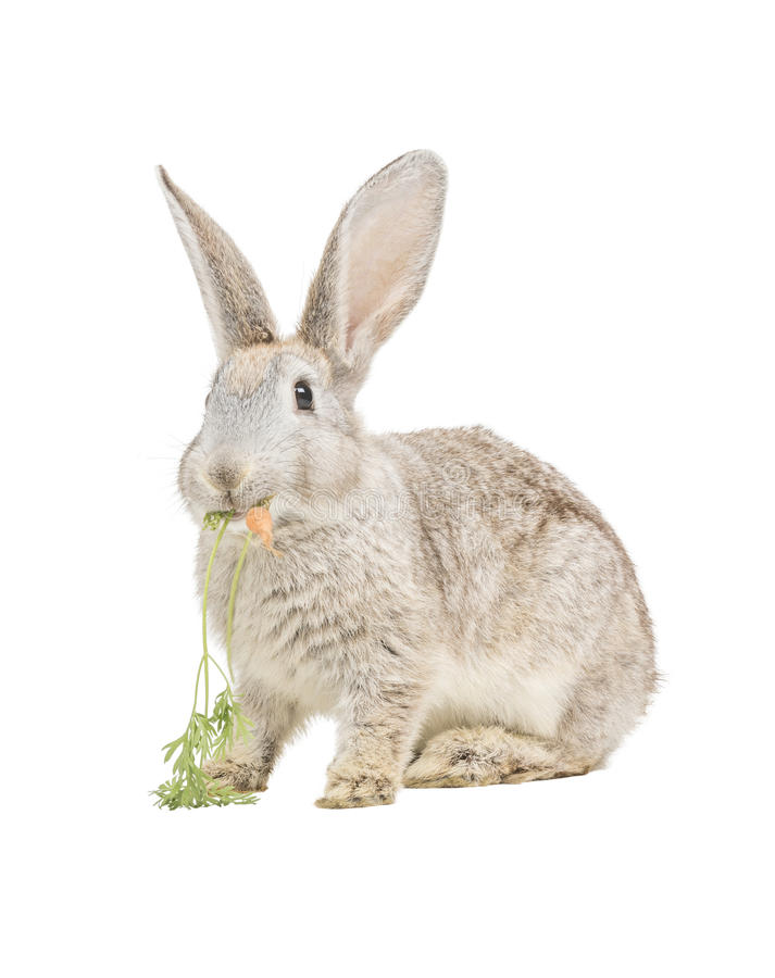 Rabbit Eating Carrot Stock Photo