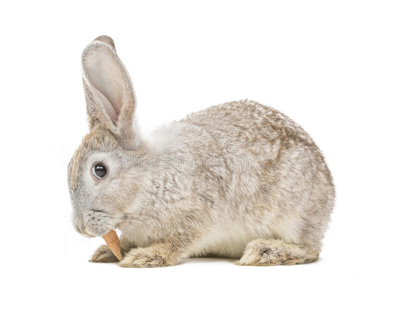 Download Rabbit eating carrot stock image. Image of young, bunny - 43150613