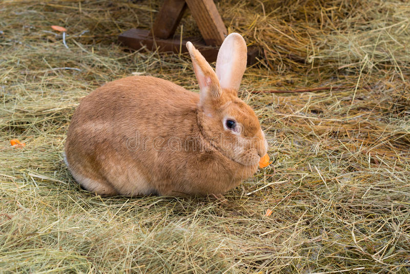 Rabbit eating carrot royalty free stock photo