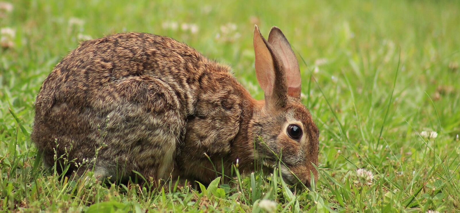 Rabbit eating clover. Young rabbit in a field of clover at the park stock photos