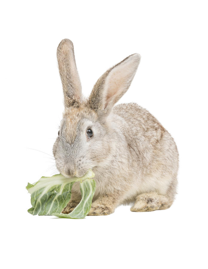 Rabbit Eating Collard Leaf Stock Photo