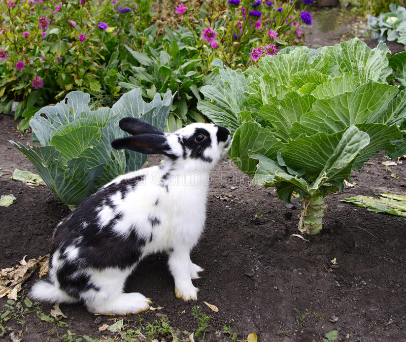 Rabbit eats cabbage royalty free stock photos