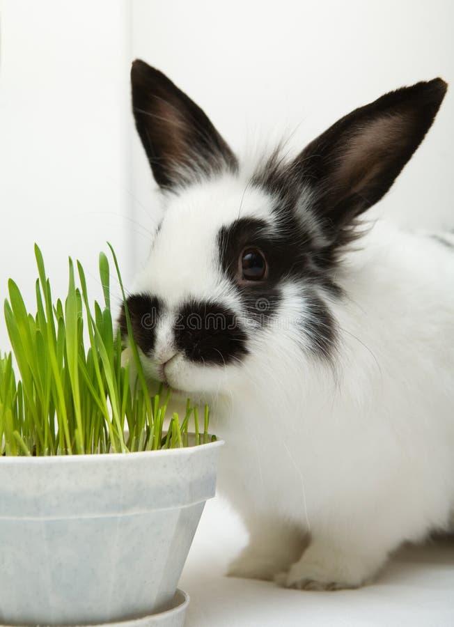 Free Rabbit Eats Grass Royalty Free Stock Photos - 12762608