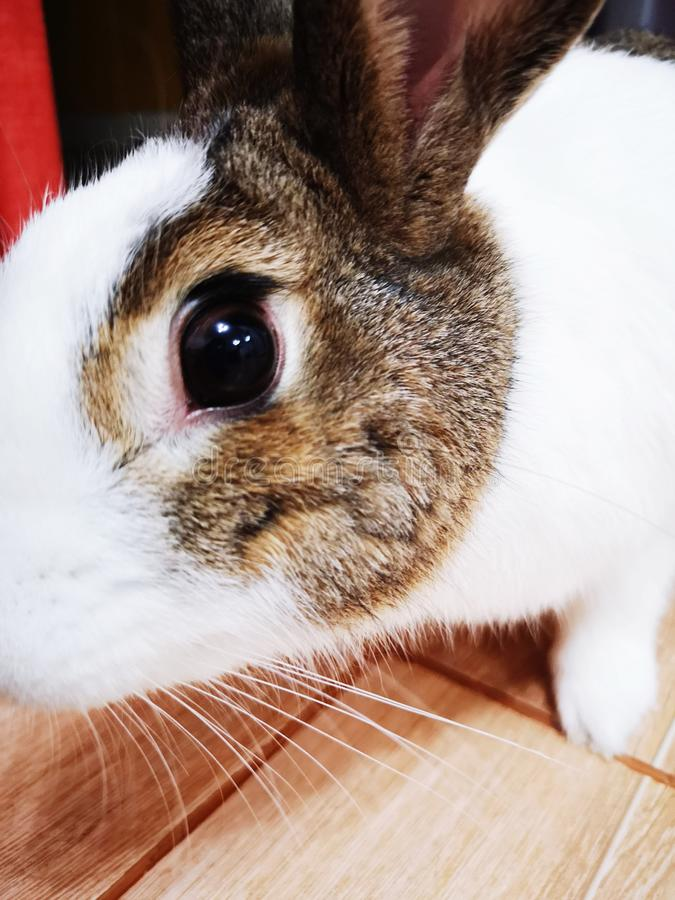 Rabbit eye looking to camera stock images