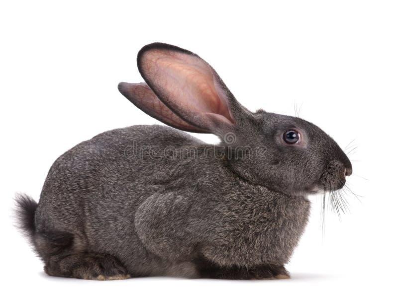 Rabbit farm animal stock images