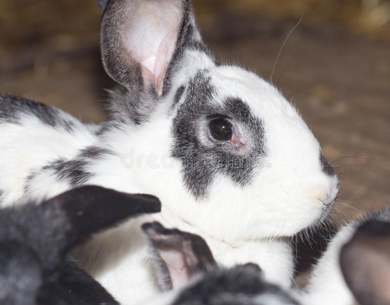 Rabbit on the farm stock images