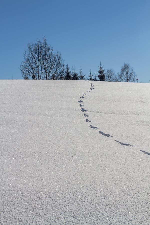 Rabbit footprints in deep fresh snow royalty free stock photo