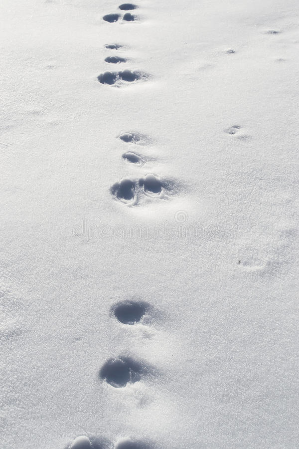 Rabbit footprints in snow royalty free stock photos