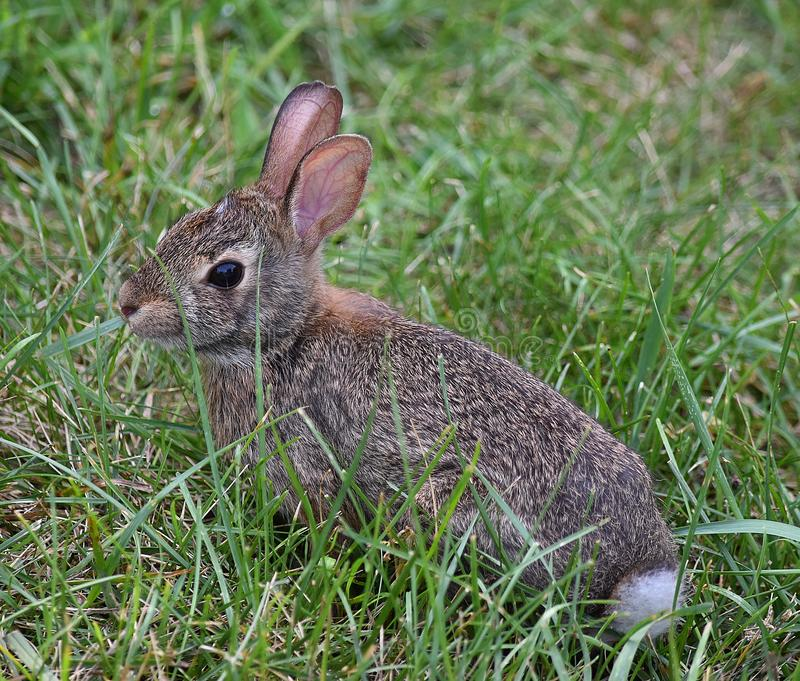 Rabbit in the Grass royalty free stock image