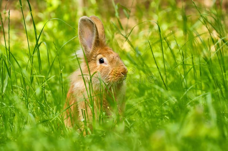 Rabbit in grass. On a green meadow royalty free stock photos