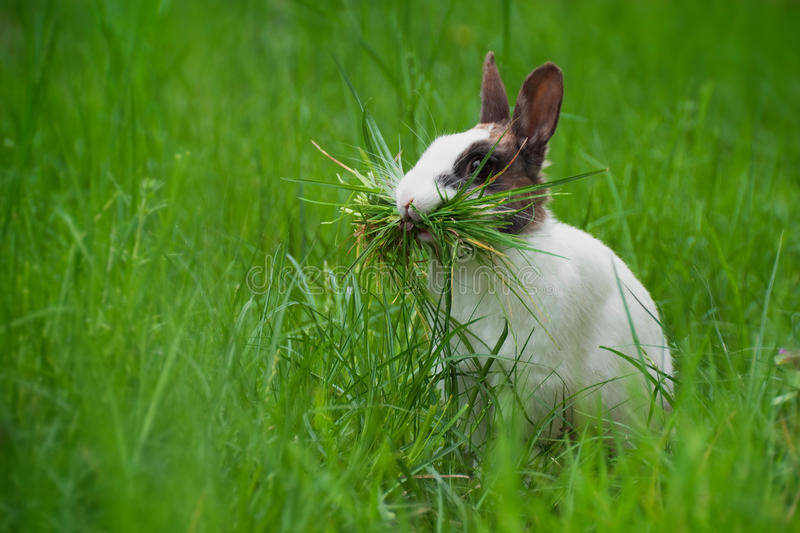 Rabbit with grass in its mouth. A rabbit collecting grass for its nest royalty free stock photos