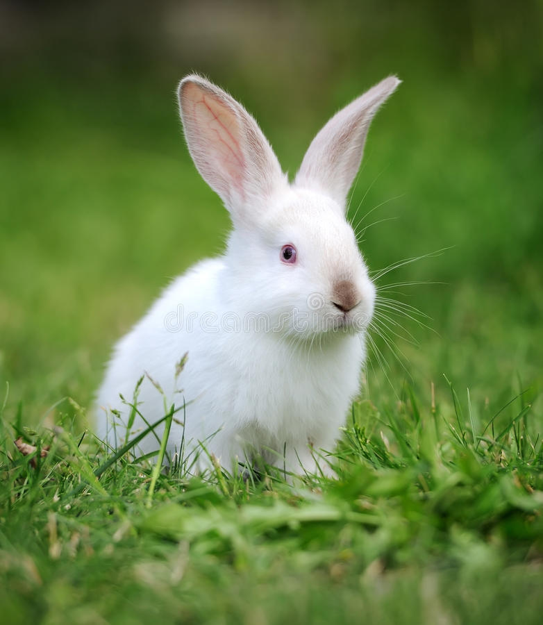 Rabbit in the grass. Little rabbit on green grass in summer day royalty free stock photography