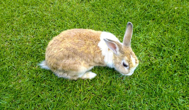 Rabbit on the Green. A brown and white rabbit on the green grass stock photography