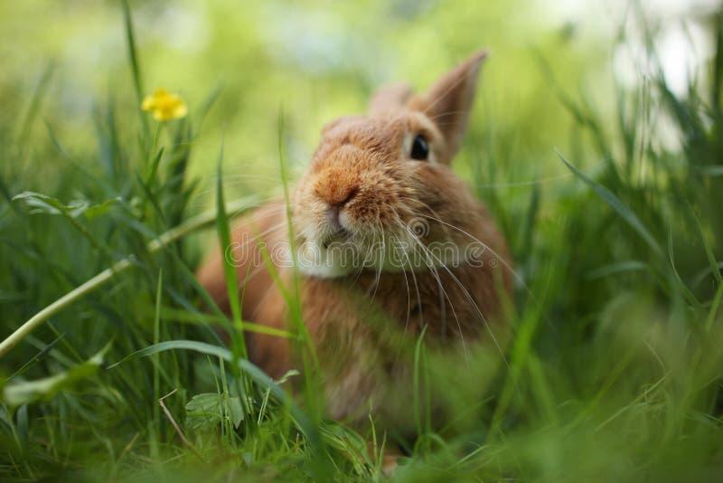 Rabbit in green grass royalty free stock photos