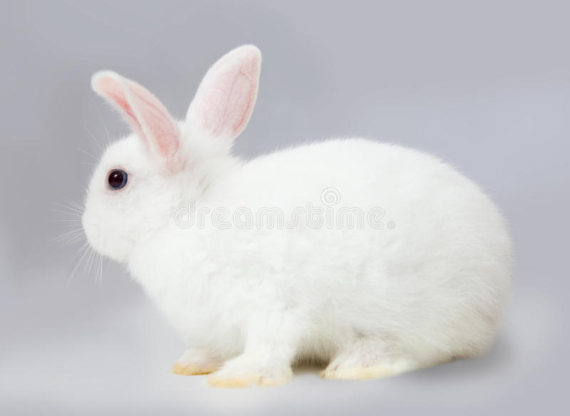 Rabbit on grey royalty free stock photo