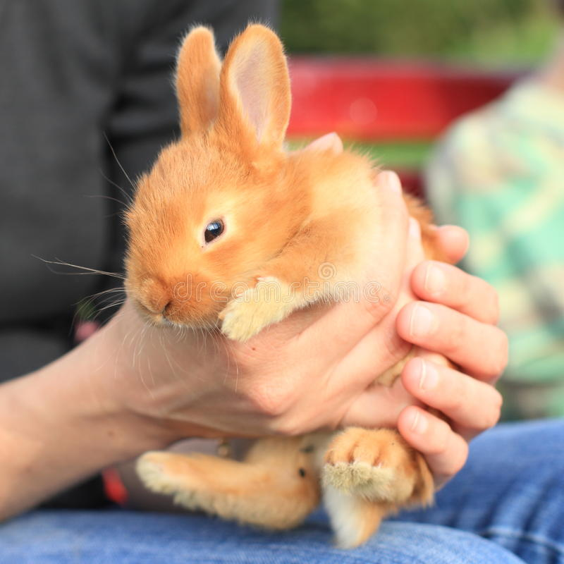 Rabbit in hands. Little surprised orrange small rabbit holded in hands stock images