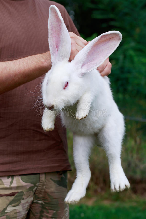 Rabbit in hands of man stock image