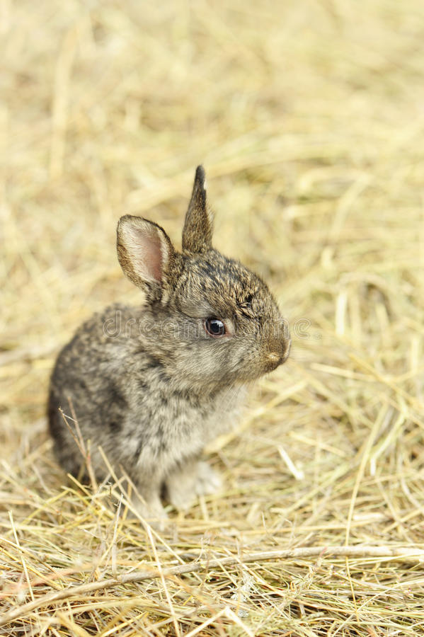 Download Rabbit on a hay stock photo. Image of young, small, mammal - 14862784
