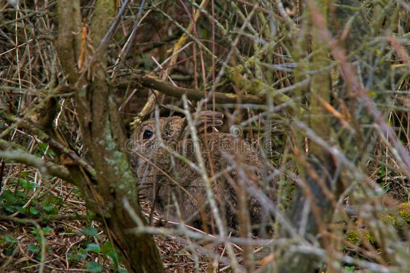 Rabbit hiding in the thicket stock images