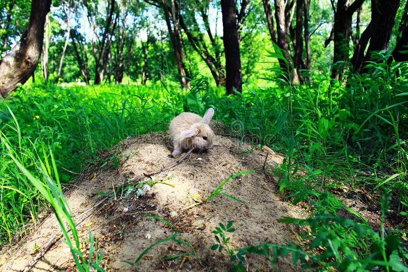 Rabbit home for a walk in the city Park. Home rabbit on a walk in the city Park on the sand high pit. Around trees with green foliage, bushes, shrubs, young royalty free stock image