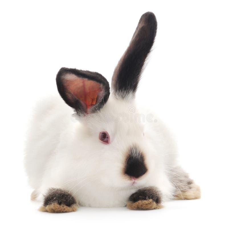 Download Rabbit stock photo. Image of studio, cute, pets, rabbit - 33068912
