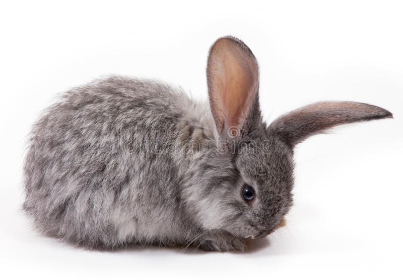 Rabbit. Isolated on white background stock photo