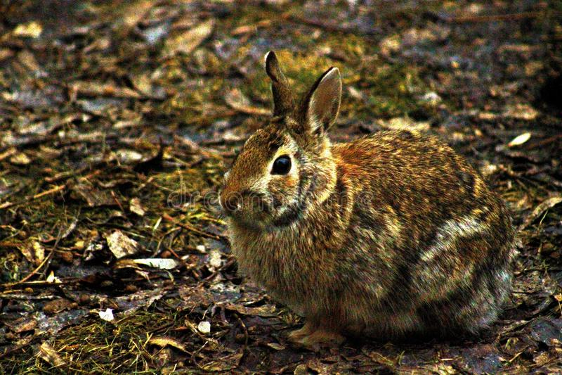 Rabbit in its habitat royalty free stock image