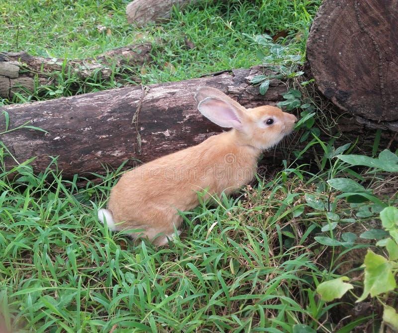 The srilankan wild yellow rabbit stock image