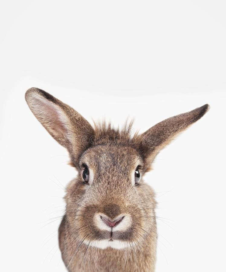 Rabbit long ears stock photography