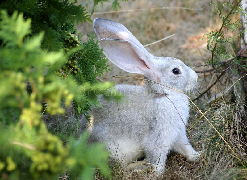 Rabbit looking for food royalty free stock photo