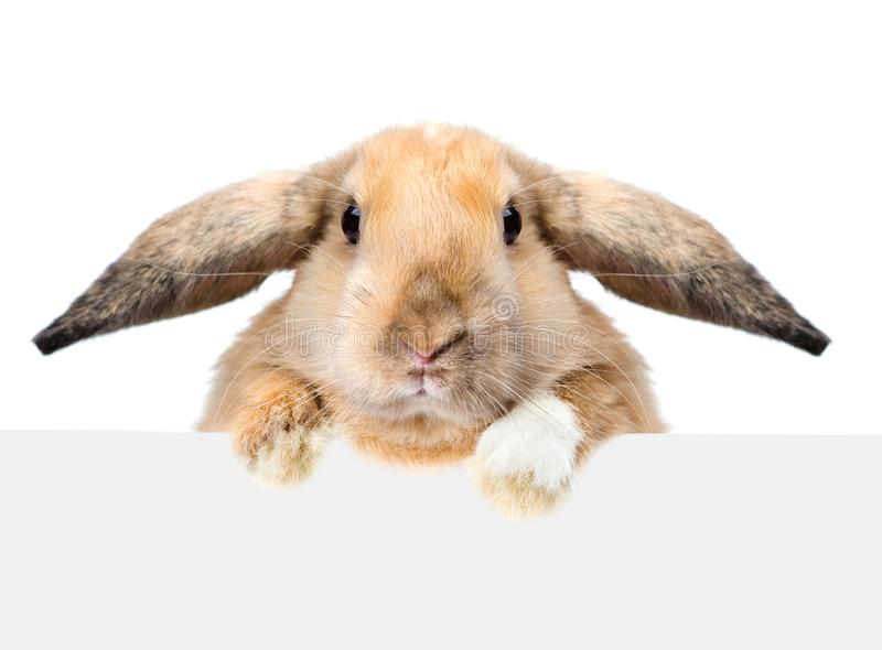 Rabbit looking over a signboard. Isolated on white background.  royalty free stock image