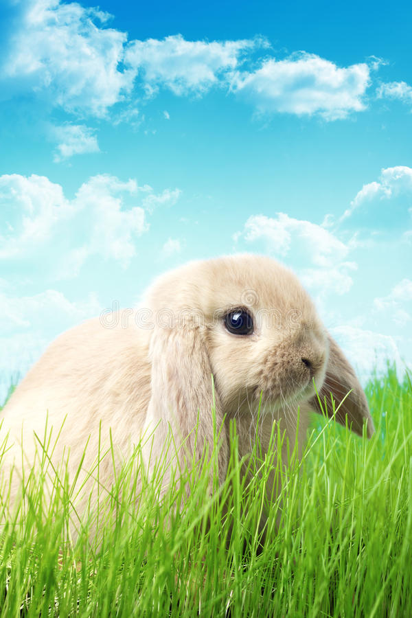 Rabbit in nature. A floppy-eared rabbit in the nature stock photography