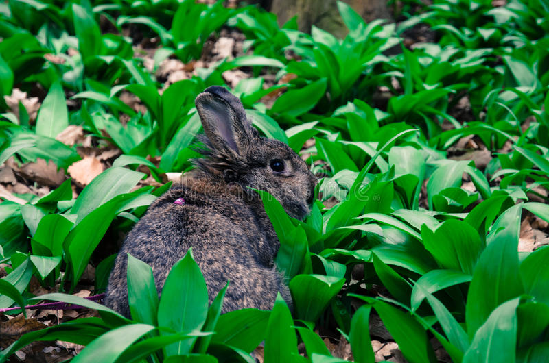 Rabbit in the nature. Gray rabbit in nature back view stock images