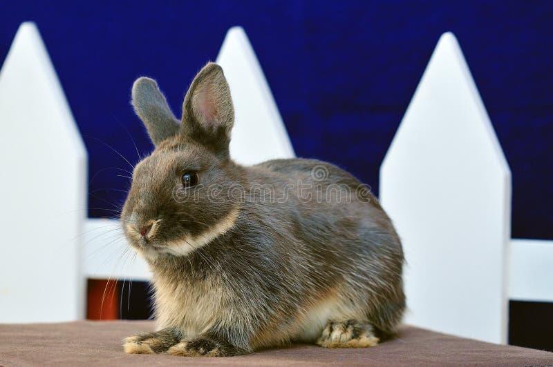 Rabbit-Netherland Dwarf stock images