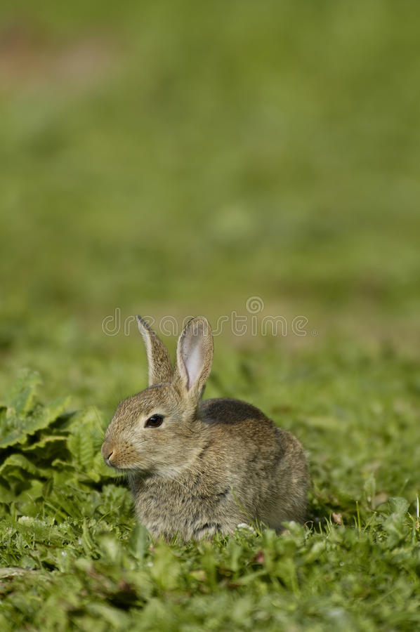 Download Rabbit - Oryctolagus Cuniculus Stock Photo - Image: 13256898
