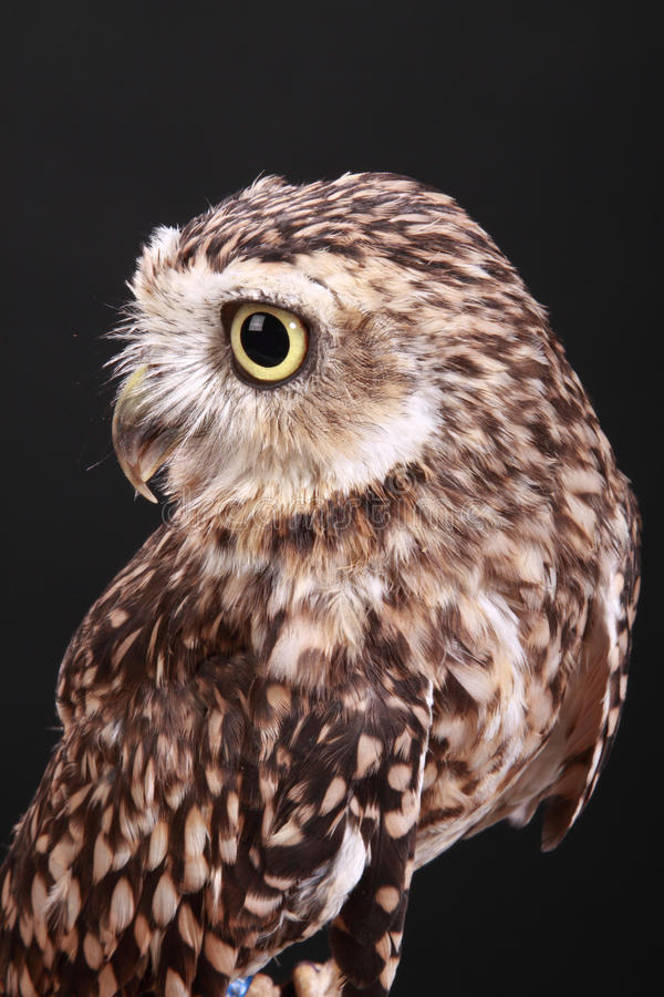 Rabbit owl stock image