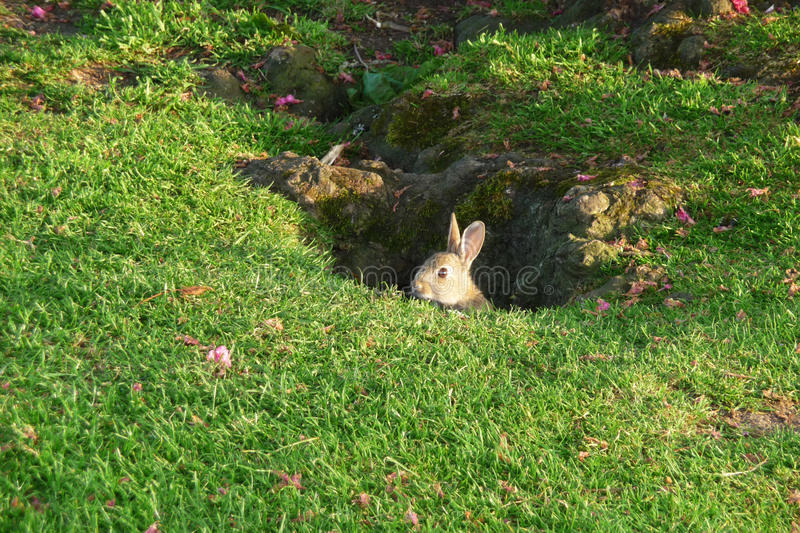 Rabbit In Park stock photography
