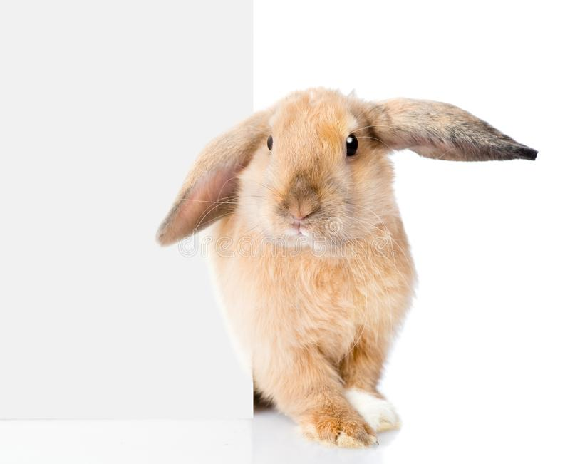 Rabbit peeks out from behind a blank banner. Isolated on white royalty free stock photo